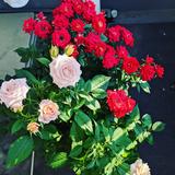 roses-ug
